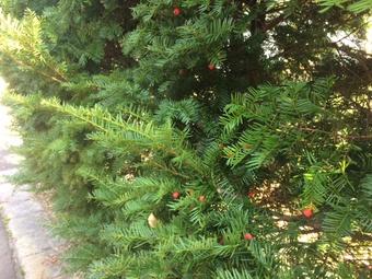 イチイの樹木