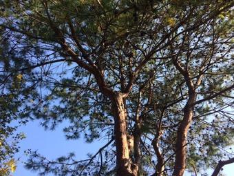身近に感じられる松の木
