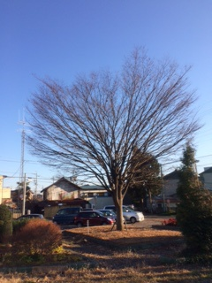 ヤマガタヤ産業本社の駐車場の木