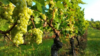 ブドウ栽培のイメージ