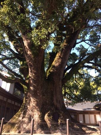 巨木代表木と言っても過言ではない木